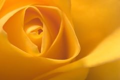 Yellow rose macro Stock Image