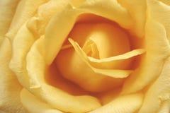 Yellow rose macro Stock Photos