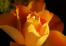 Yellow rose. Macro of a beautiful sunlit rose in the garden Royalty Free Stock Photos