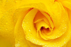 Yellow rose macro Royalty Free Stock Image