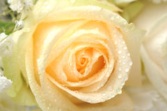 Yellow rose macro Royalty Free Stock Images