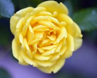 Yellow rose. Macro in the garden royalty free stock images