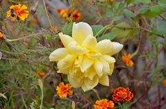Yellow Rose and Marigold Flowers Royalty Free Stock Photo