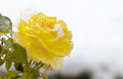 Yellow Rose Melting Snow. A yellow rose with remains of melting snow and water drops Stock Image