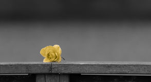 Yellow rose on Monochromatic Background Royalty Free Stock Image