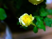 Yellow rose. In my garden Royalty Free Stock Photography