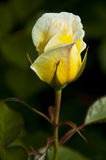 Yellow Rose. On natural background Royalty Free Stock Images