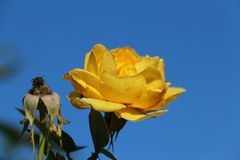 Yellow rose the new supersedes the old Royalty Free Stock Photography