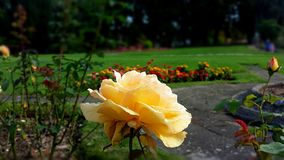 A yellow rose in October. A yellow rose in Autumn, October with fresh raindrops and a flower garden in the background Stock Images