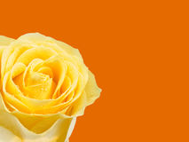 Yellow rose on orange. A close up of a beautiful yellow rose on a background of bright orange with space for copy Royalty Free Stock Photos