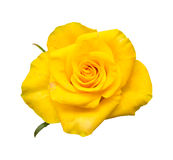 Yellow rose. With orange stripes  on white Royalty Free Stock Images