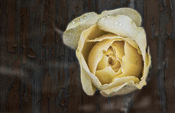 Yellow rose. A yellow rose over wooden background royalty free stock photography