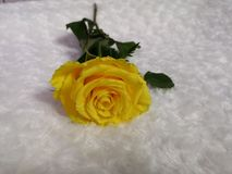 Yellow rose for parting stock photo