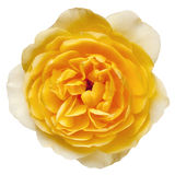 Yellow Rose with Path Isolated Stock Photos