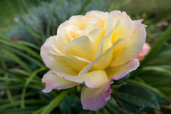 Yellow Rose (Peace) Royalty Free Stock Image