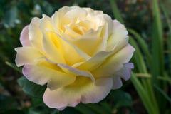 Yellow Rose (Peace) Royalty Free Stock Photos