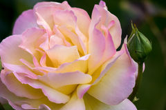 Yellow Rose (Peace) Royalty Free Stock Images