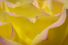 Yellow Rose (Peace) Stock Images