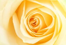 Yellow rose petals Royalty Free Stock Photos