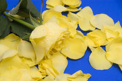 Yellow rose and petals. A beautiful yellow rose and loose petals on a bright rich blue background and surface with room for copy. Water droplets on flower Royalty Free Stock Photos