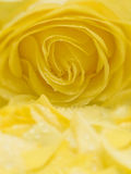 Yellow rose and petals. A beautiful yellow rose and loose petals, full frame and soft focus Royalty Free Stock Image