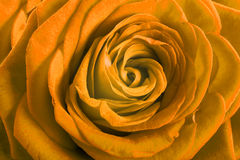 Yellow rose petals as background Stock Images