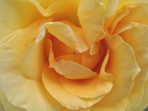 Yellow rose petals Stock Photography