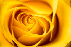 Yellow Rose. Royalty Free Stock Photos
