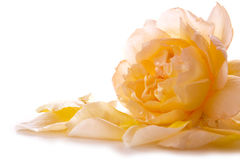 Yellow rose petals and rose. Royalty Free Stock Photography