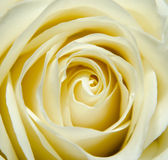 Yellow rose petals texture, close up Royalty Free Stock Images