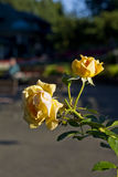 Yellow rose. This photo was taken while visiting Butchart gardens in Victoria B.C Royalty Free Stock Photography