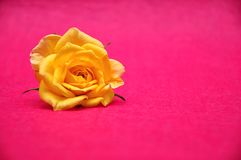 A yellow rose on a pink background. A single yellow rose on a pink background royalty free stock photo