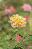 Yellow Rose. Yellow and pink Rose in garden Stock Photos