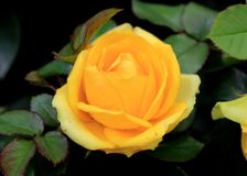 Yellow rose - plant of Rosaceae family with big yellow flowers. Yellow rose - plant of Rosaceae family with beautiful yellow flowers Stock Photos