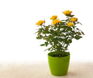 Yellow rose in pot on a white background Royalty Free Stock Photos
