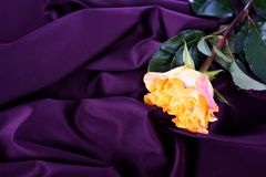 Yellow rose on purple background Stock Photos