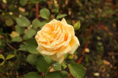 Yellow rose after rain in a garden Royalty Free Stock Image