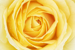 Yellow Rose with Raindrops Stock Images