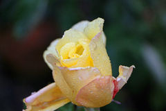 Yellow rose with raindrops Royalty Free Stock Photography