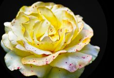 Yellow Rose with Red Dots. A pale yellow rose with red dots similar to freckles royalty free stock photography