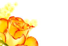 Yellow rose with red edges Stock Images