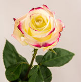 Yellow rose. Yellow rose with red edges of petals on a solid background Stock Image