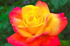 Yellow Rose with Red Tips Stock Photos
