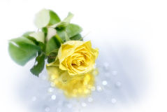 Yellow rose and reflection. A close up of a beautiful yellow rose on a reflective background with water droplets Royalty Free Stock Photo