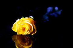 Yellow rose on reflective surface. Yellow rose placed on a dark reflective surface, with dark background royalty free stock photo