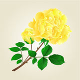 Yellow rose and rosebud  vintage vector. Yellow rose and rosebud stem with leaves and blossoms vintage vector illustration Stock Image