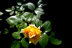 Yellow rose. In secret garden Stock Photo