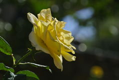 A yellow rose Stock Photo