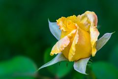 Yellow rose shot on green background. Royalty Free Stock Photo