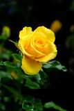 Yellow rose shot in natural light on dark background. Beautiful yellow rose on sale at flower market in Bangkok, Thailand royalty free stock photos